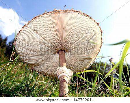 Parasol Mushroom , Parasol mushroom in nature ,