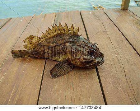 Black Sea scorpid - ruff terrifying in their appearance