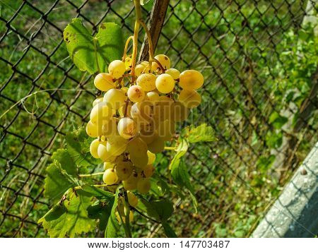 Ripe bunch of grapes of amber at the fence near her house at sunset