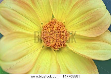 Macro image of a beautiful yellow Dahlia flower in the garden