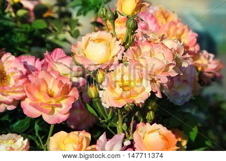 Pink bush.Yellow-pink flowers close up. Horizontal photo.
