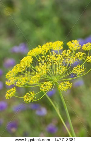 Umbel  of dill  against green background and blue flowers. Selective focus.