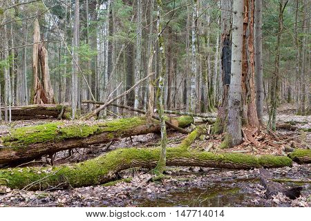 Two droken oak trees in spring forest stand just before vegetation starts, Bialowieza Forest, Poland, Europe