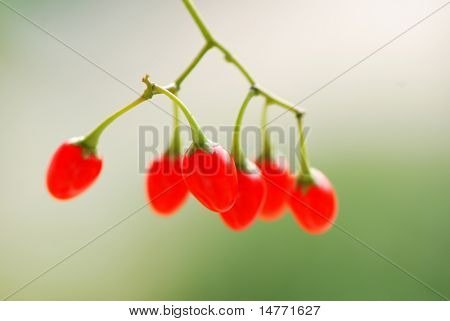 Bittersweet berries with shallow depth of field