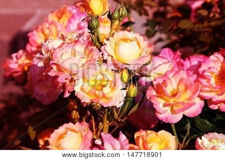 Beautiful roses.Yellow-pink flowers close up. Horizontal photo.