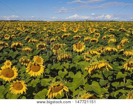 A huge field of sunflowers. Winnipeg. Canada.