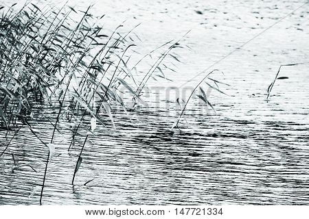 Coastal reed silhouettes over still lake water blue toned natural photo with selective focus