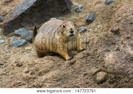 Portrait of black-tailed prairie dog. Photography of wildlife.