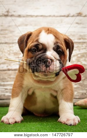 English bulldog puppy with a heart in his mouth. Subject Valentine's Day