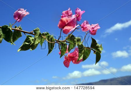 Bougainvillea flowers on a blue sky background.