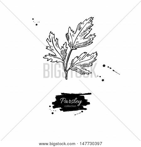 Parsley vector hand drawn illustration. Isolated spice object. Engraved style seasoning. Detailed organic product sketch. Cooking flavor ingredient. Great for label, sign, icon