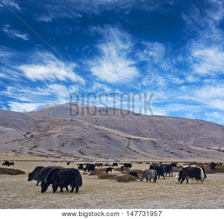 Herd of Dzo Yaks in Ladakh Indian Himalayas. Dzo is a hybrid of yak and domestic cattle.