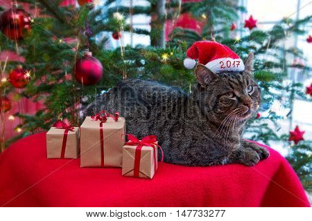 Gray cat with santa hat 2017 and Christmas tree.Christmas card.