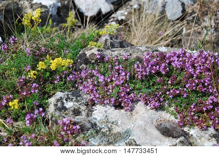 Closeup on a colorful plant of blossom wild thyme