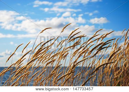 Blowing yellow grass straws by the coast