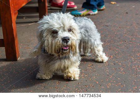 Dandie Dinmont Terrier At The Leash