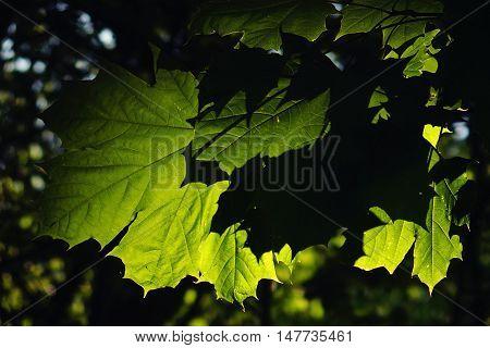 summer green leaf in sun spring background