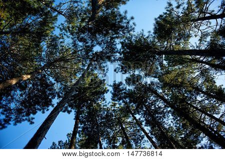 The tops of the pines overhead and the blue sky. Bottom view