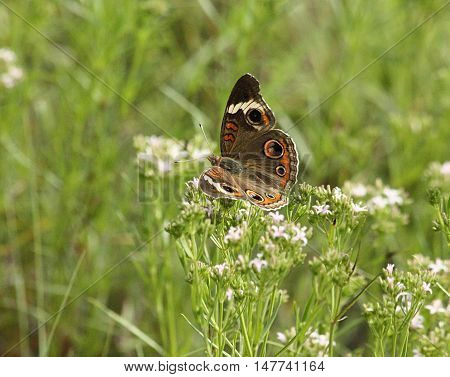 Common buck-eye butterfly sitting on white wildflowers, with wings spread, in a green country field.