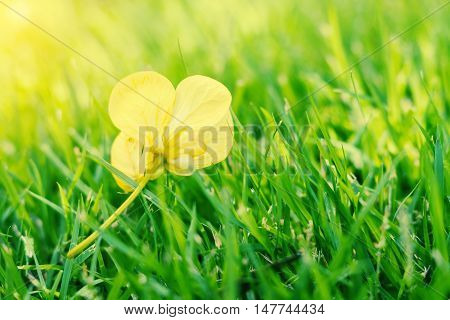 Vintage landscape nature flower background Closeup yellow flower fall from the tree on green grass Spring flower Spring background