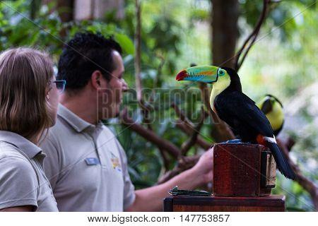 Keel Billed Toucan - Ramphastos Sulfuratus
