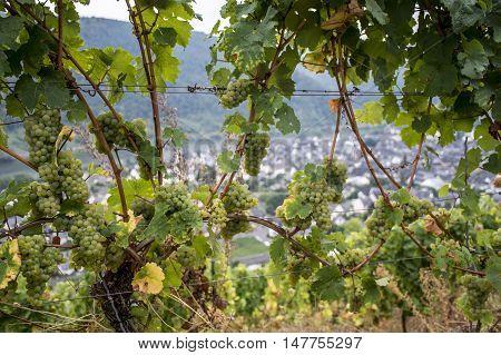 white Wine grapes in the german Region Moselle River Winningen 16