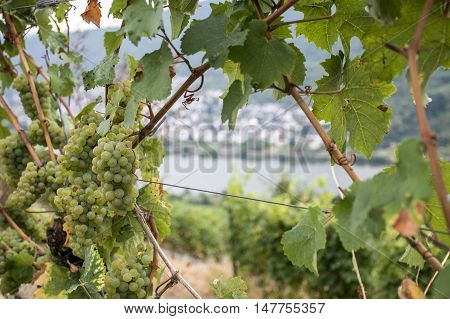 white Wine grapes in the german Region Moselle River Winningen 15