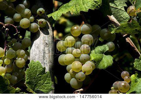 white Wine grapes in the german Region Moselle River Winningen 10
