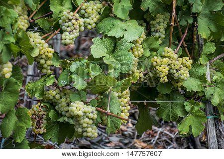 white Wine grapes in the german Region Moselle River Winningen