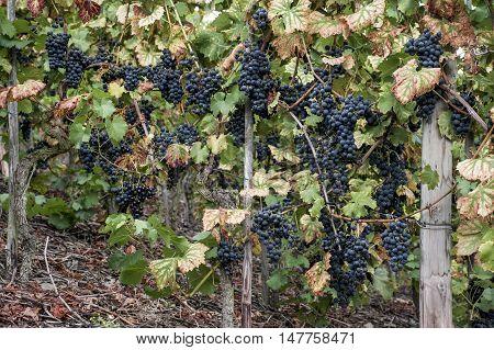Red Wine in the german Region Moselle River Winningen