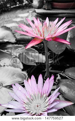 Lotus blooming, Lotus blossom background, Carmine lotus flower background