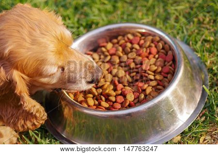 Closeup very cute cocker spaniel dog eating from metal bowl with fresh crunchy food sitting on green grass, animal nutrition concept.