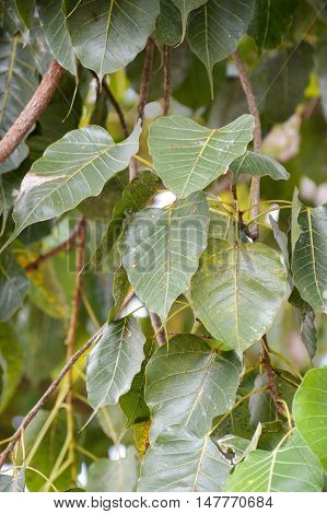 close up fresh green Ficus religiosa leaves in nature garden