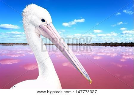 White Pelican (Pelecanus onocrotalus) also known as the Eastern White Pelican Rosy Pelican or White Pelican is a bird in the pelican family