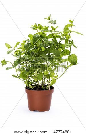 Scrub scented mint in a pot on a white background