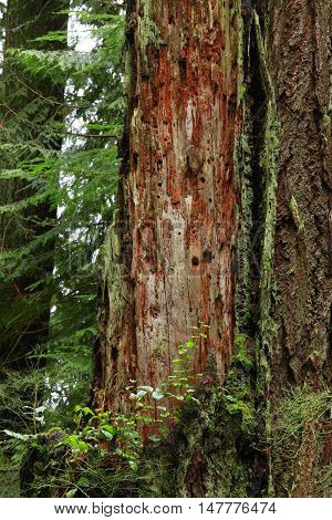 a picture of an exterior Pacific Northwest forest with a  old growth conifer tree trunk