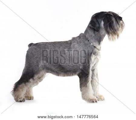 salt and pepper schnauzer dog  posing