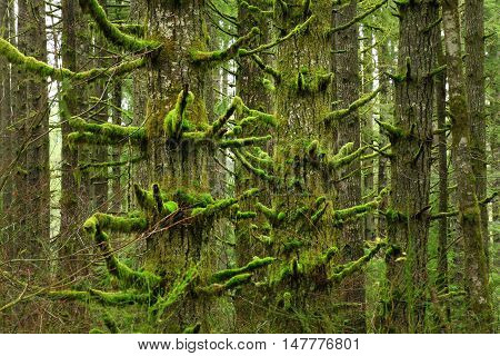 a picture of an exterior Pacific Northwest forest with mossy Doulas fir trees