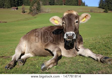 Cattle on the Meadow in Bavaria. Germany