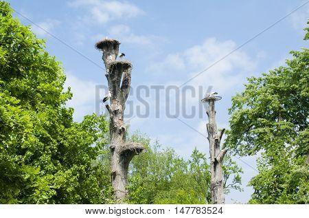 Mechelen, Belgium - 17 May 2016: Stork Nests On Trees In Planckendael Zoo.