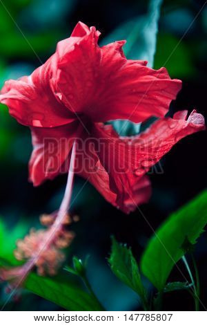 Bush green hedge with red hibiscus flowers. Foliage.