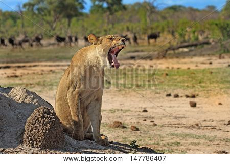 Lioness sitting next to a termite mound yawning with wildebeest in the background