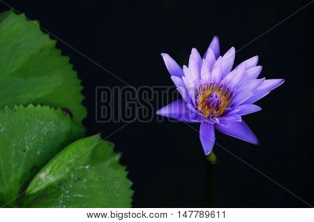 Violet lotus water lilly in a pond