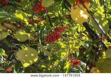 Rowanberry fruits on tree in autumn time.