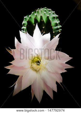 Flowers of easter lily cactus isolated on black background