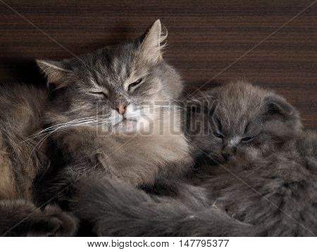 Big cat and little kitten sleeping embracing. Many different shades of gray fur