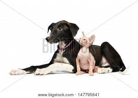Cute puppy greyhound and kitten don sphynx on a white background