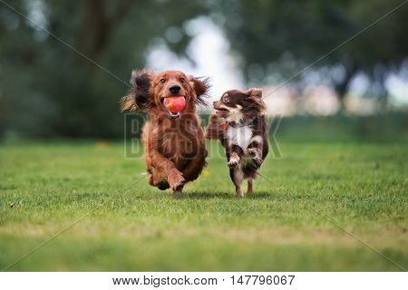 two small dogs playing outdoors together in summer