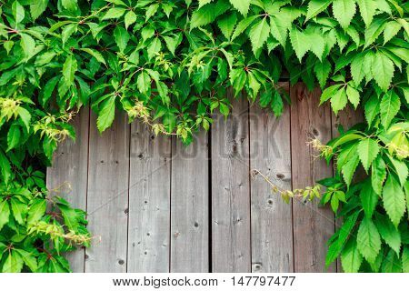 Fresh Spring Green Grass And Leaf Plant Over Wood Fence