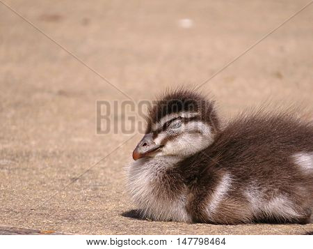 Sleepy and tiny baby duckling in the Spring time